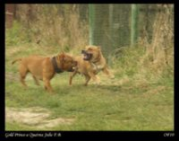 Staffordshire Bull Terrier in photography 2010