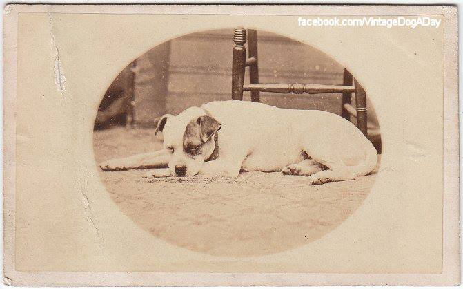 O plemeni Staffordshire Bull Terrier