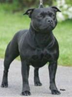 Black-Brindle