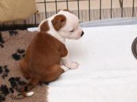 Staffordshire Bull Terrier - litter G