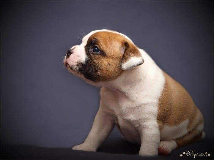 Staffordshire Bull Terrier – vrh F