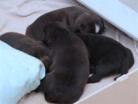 Staffordshire Bull Terrier - litter D
