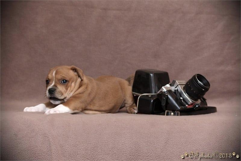 Staffordshire Bull Terrier - litter C