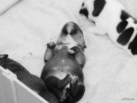 Staffordshire bull terrier - Vrh E