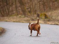 Staffordshire bull terrier10