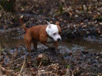 Staffordshire bull terrier11