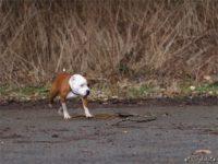 Staffordshire bull terrier12