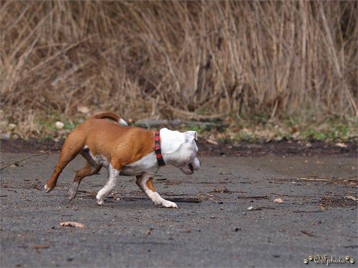 Staffordshire bull terrier13