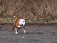 Staffordshire bull terrier14