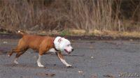 Staffordshire bull terrier15