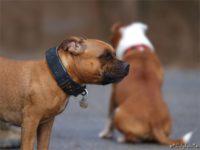 Staffordshire bull terrier16