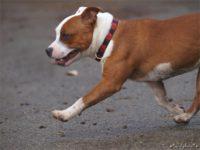 Staffordshire bull terrier17