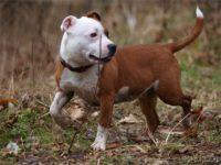 Staffordshire bull terrier18