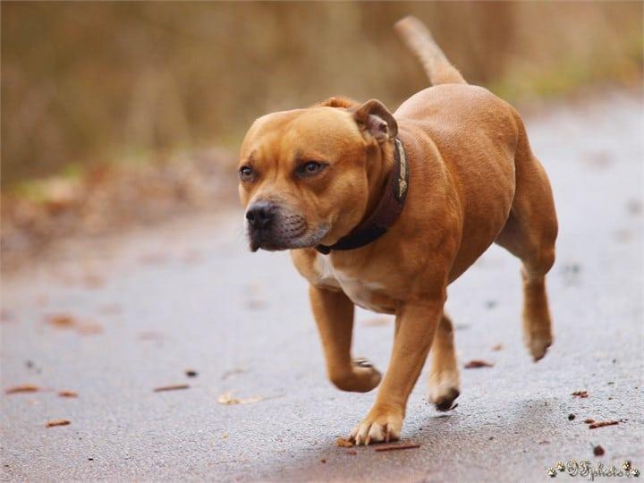 Staffordshire bull terrier2