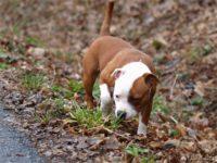Staffordshire bull terrier4
