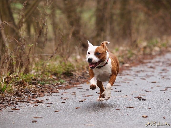 Staffordshire bull terrier5