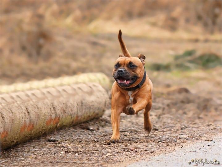 Staffordshire bull terrier6