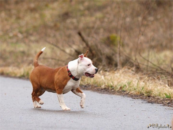Staffordshire bull terrier8