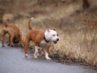 Staffordshire bull terrier9