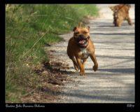Staffordshire Bull Terrier 2010