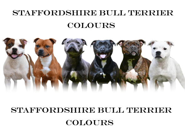 Staffordshire Bull Terrier Colors