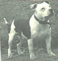 history staffordshire bull terrier11
