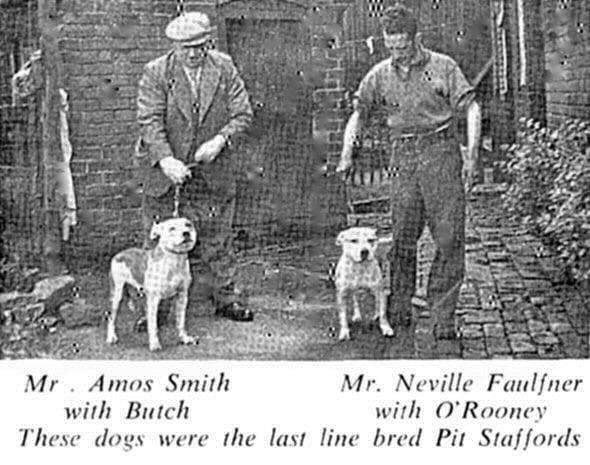 history staffordshire bull terrier12