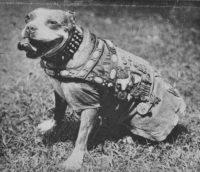 history staffordshire bull terrier129