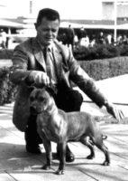history staffordshire bull terrier18
