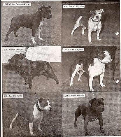 history staffordshire bull terrier21