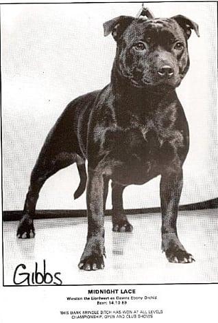 history staffordshire bull terrier24