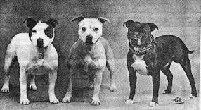 The Original Standard Staffordshire Bull Terrier