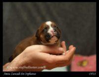 Staffordshire Bull Terrier - litter A