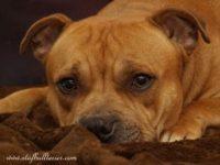 Staffordshire Bull Terrier vrh B