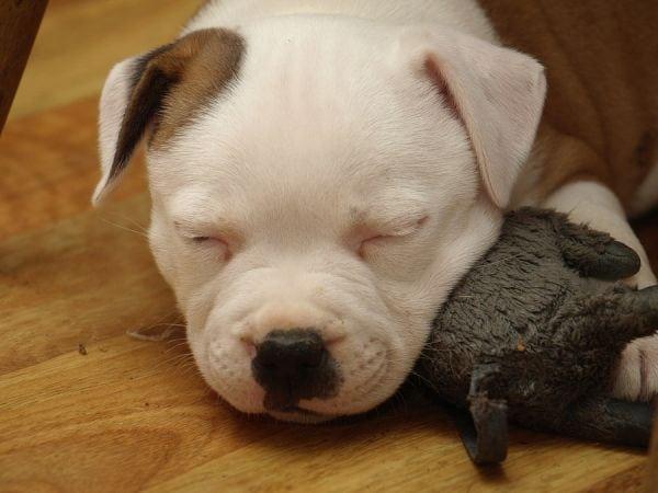 Staffordshire Bull Terrier - litter B