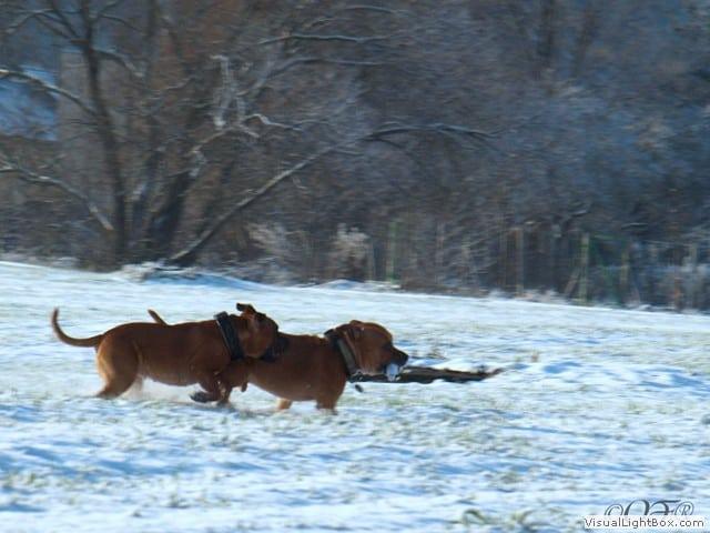 Staffordshire Bull Terrier 2012