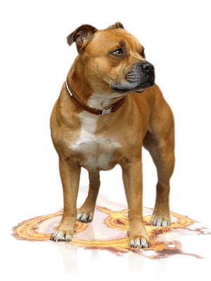 Staffordshire bull terrier males
