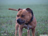staffordshire_bull_terrier_de_orphanus_37