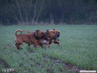 staffordshire_bull_terrier_de_orphanus_39