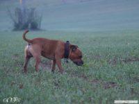 staffordshire_bull_terrier_de_orphanus_40