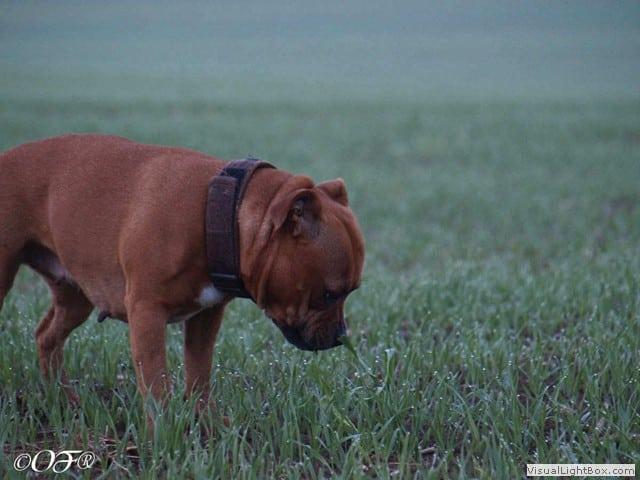 staffordshire_bull_terrier_de_orphanus_41