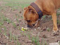stafforshire_bull_terrier_de_orphanus14
