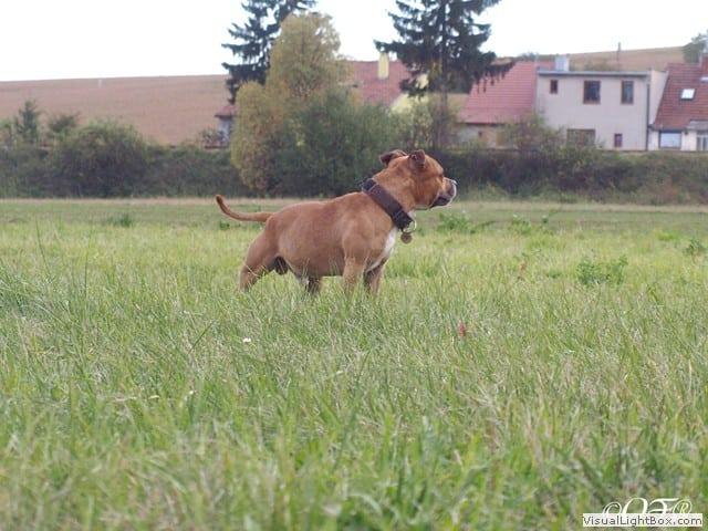 stafforshire_bull_terrier_de_orphanus16