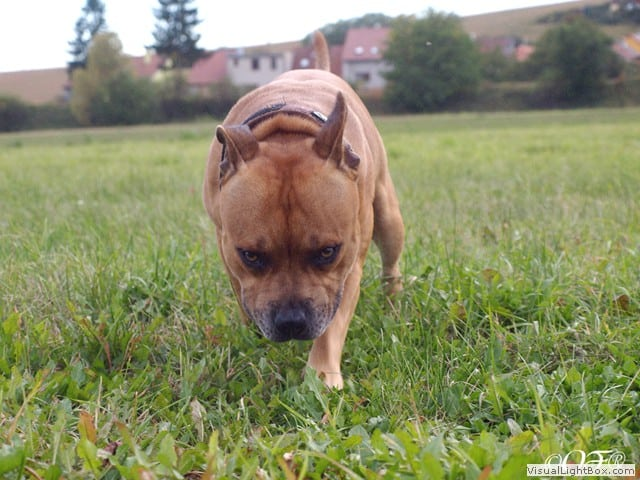 stafforshire_bull_terrier_de_orphanus17