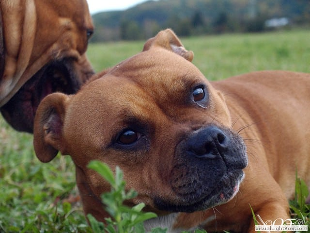 stafforshire_bull_terrier_de_orphanus18