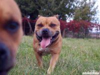 stafforshire_bull_terrier_de_orphanus22