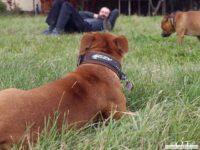 stafforshire_bull_terrier_de_orphanus24
