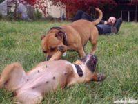 stafforshire_bull_terrier_de_orphanus25