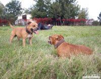 stafforshire_bull_terrier_de_orphanus27