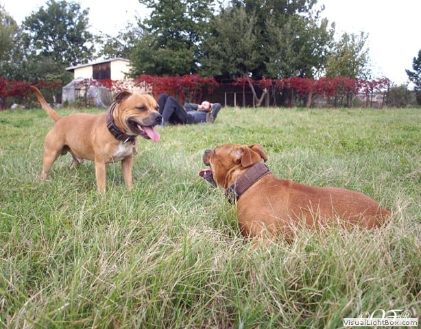 stafforshire_bull_terrier_de_orphanus27